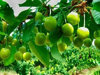 Kirschen-Grün