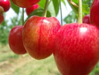 Kirschen-Rot