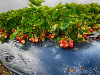 Erdbeerfeld 11